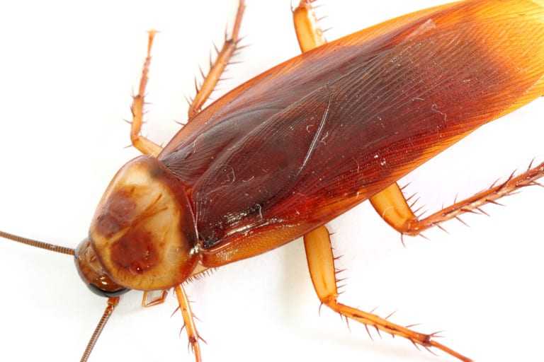 Close-up-of-a-cockroach-768x512