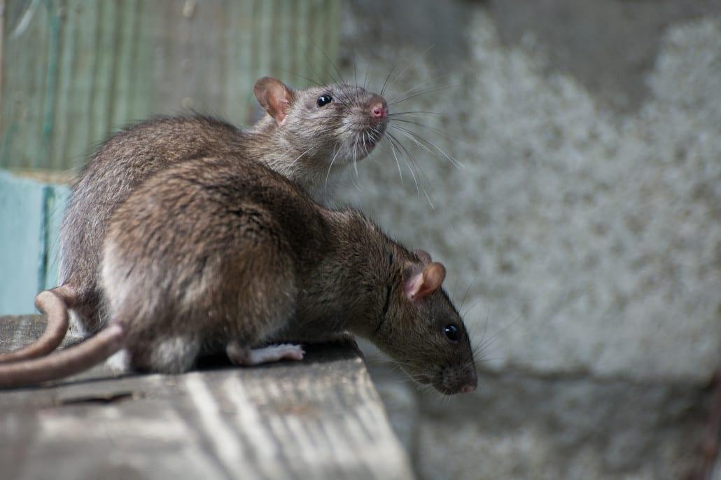 Rats-1030x685