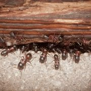 ants leaving colony under wooden door step